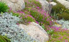 plante de rocaille