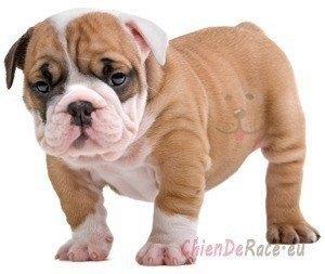 bulldog anglais caractère