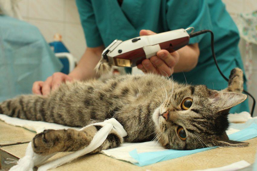 castrer un chat