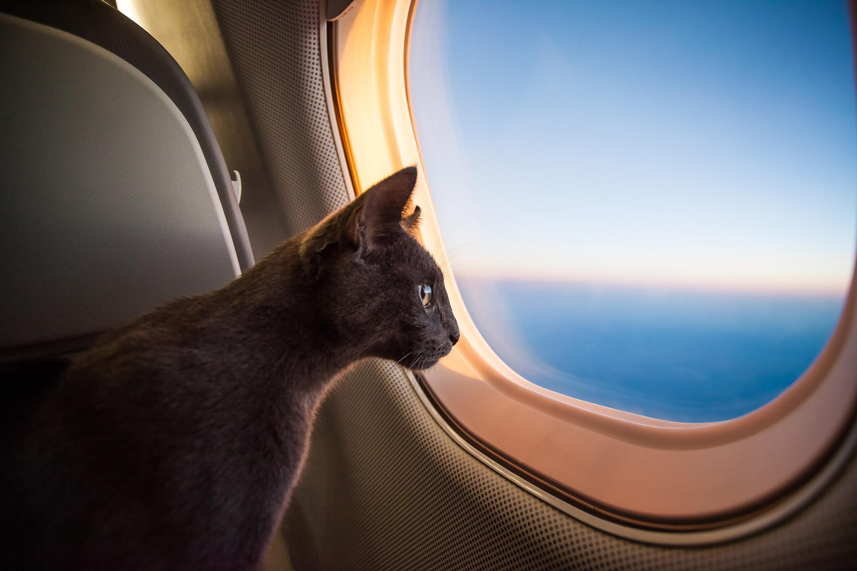 chat avion
