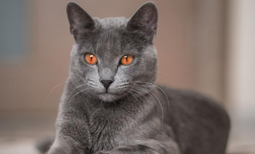 chat russe bleu