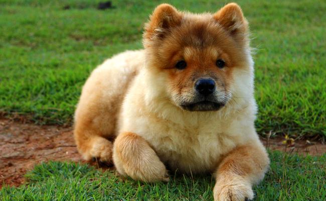 chien chouchou