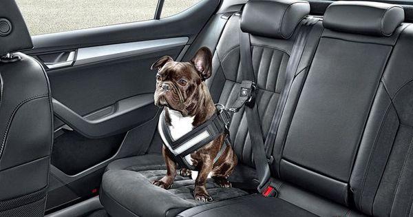 transport chien voiture